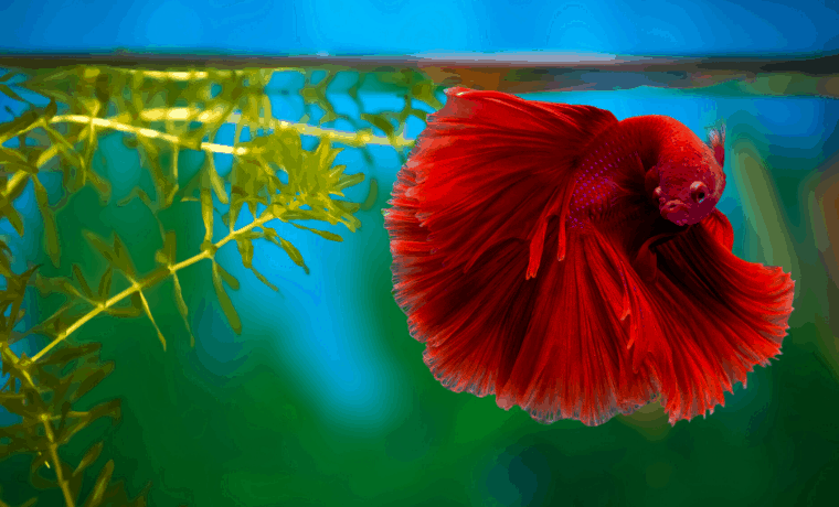 best betta fish tank mates