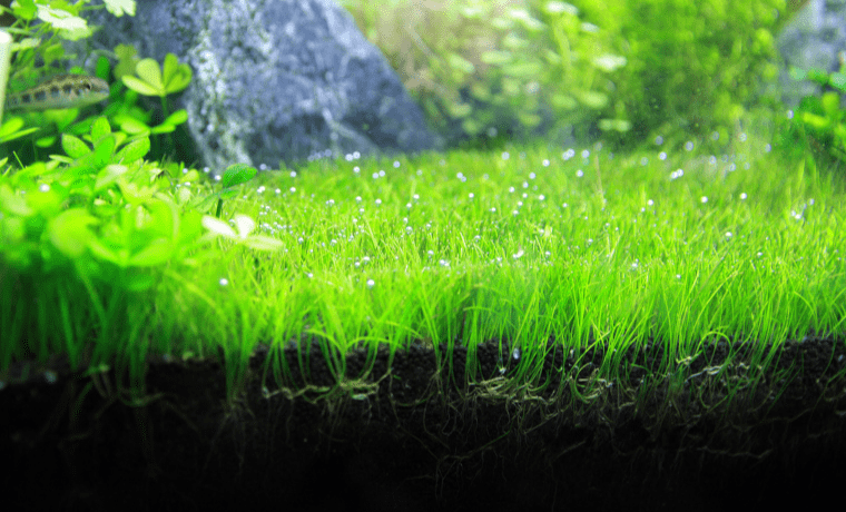 6 Freshwater Carpet Plants