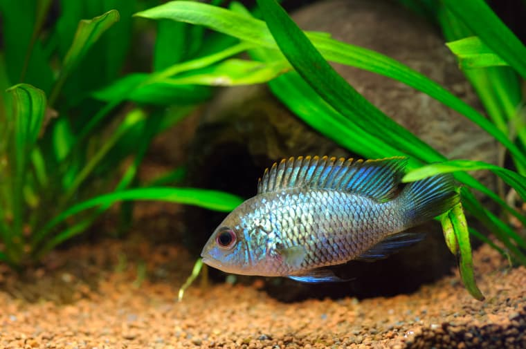 Blue Acara South American Cichlids