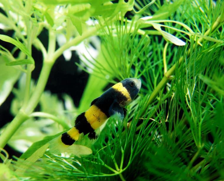 Bumblebee Gobies for 5 gallon tank