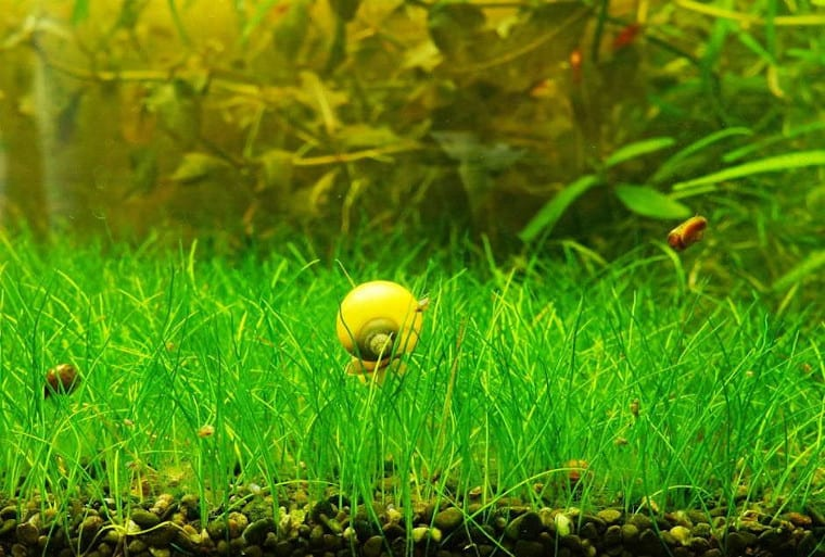 Eleocharis Parvula carpet plant
