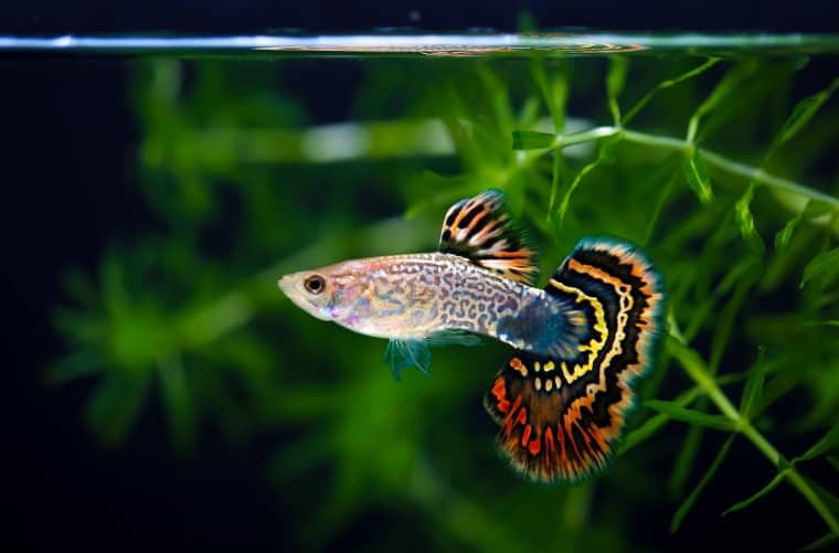 Fancy Guppies