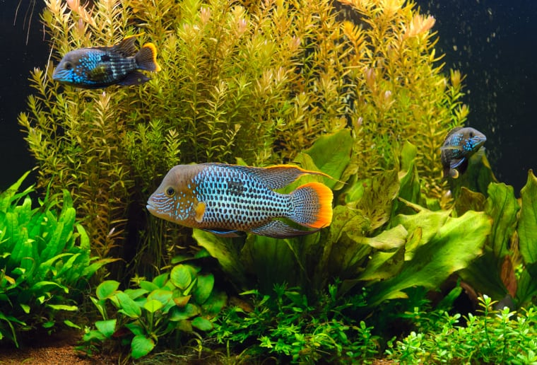 Green Terror South American Cichlids