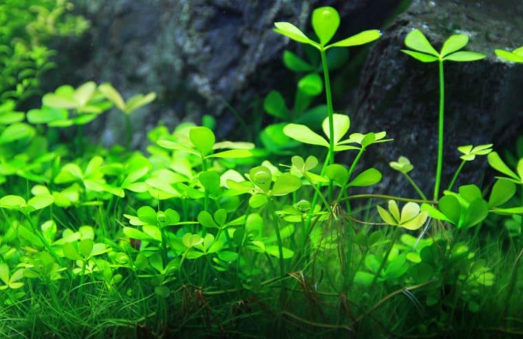 Marsilea Minuta carpet plant