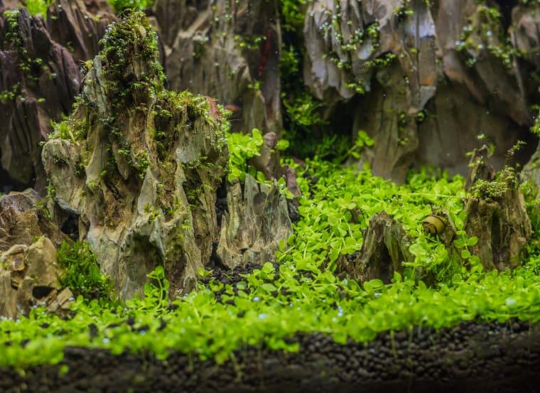 Micranthemum Tweediei carpet plant
