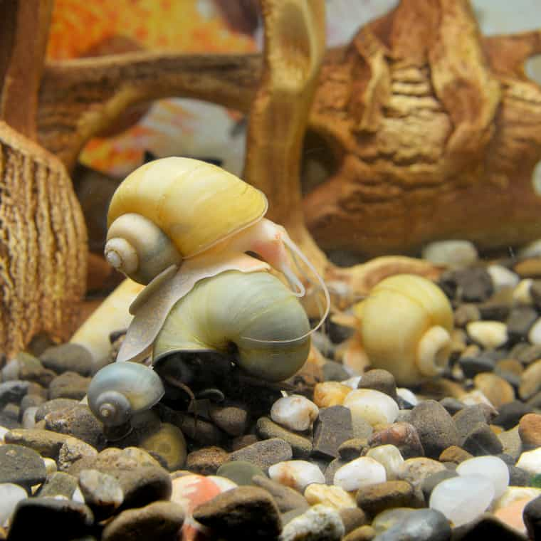 Mystery Snails with black moor goldfish