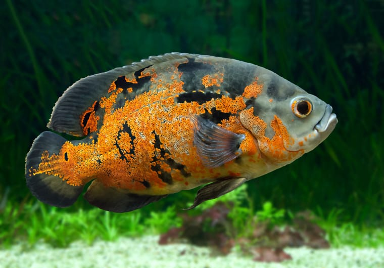 Oscar fish South American Cichlids