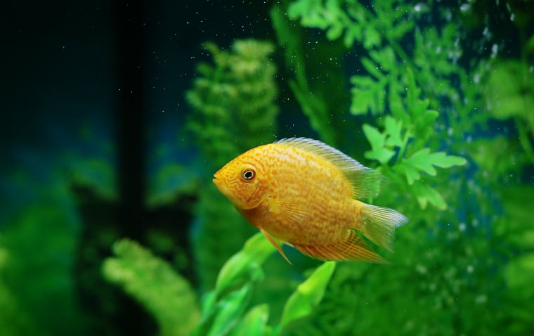 Severum South American Cichlids