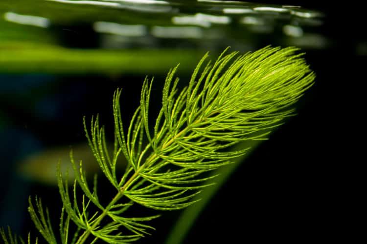 hornwort plant
