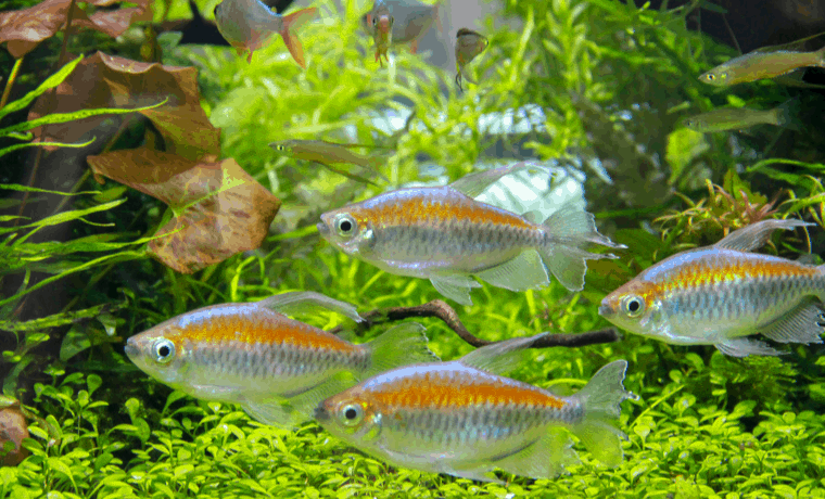 Aquarium Tetra Species