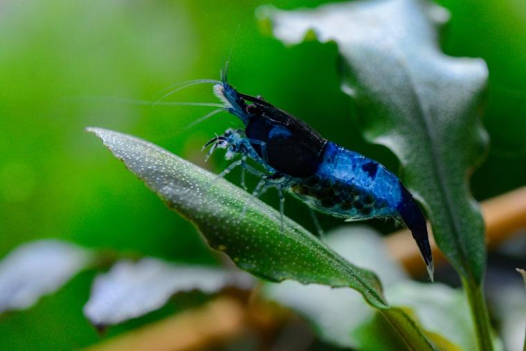 Blue Diamond Sapphire Shrimp