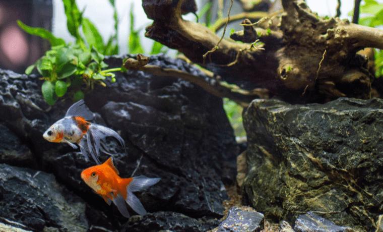 Cold Water Aquarium Fish and invertebrates