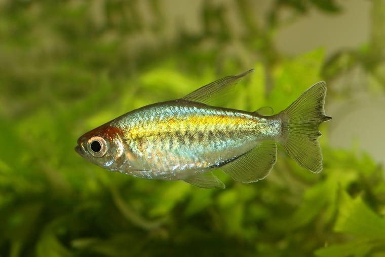 Congo Tetra