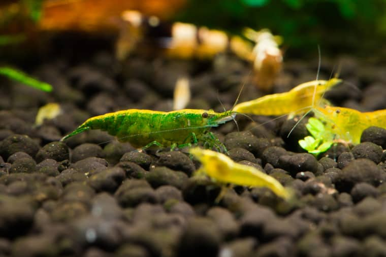 Green Jade shrimp