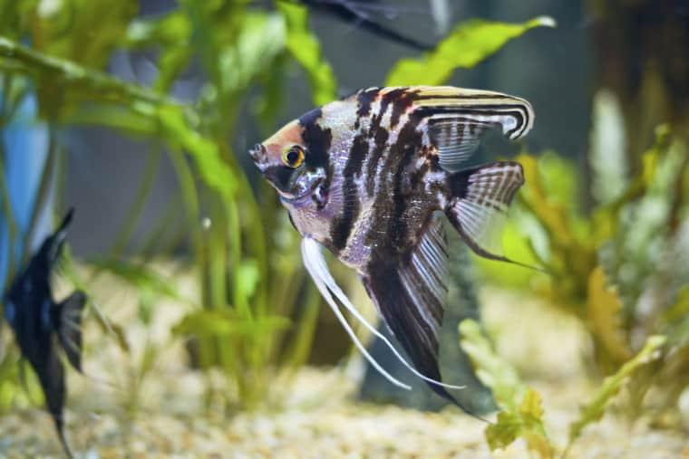 Marbled Angelfish