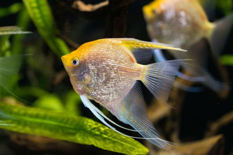 Top 9 Popular Types of Angelfish in Freshwater Aquaria ...
