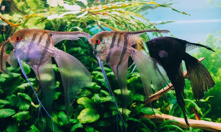 Veiltails angelfish