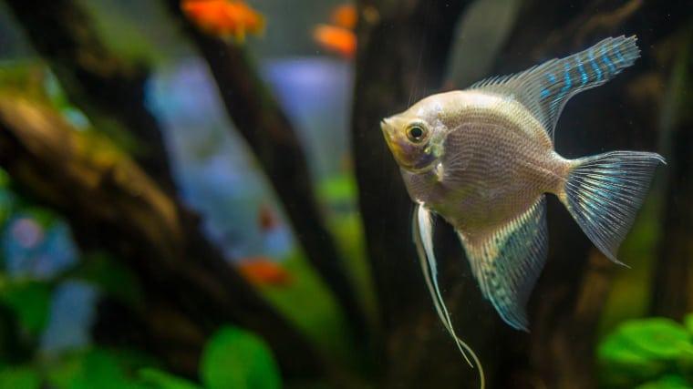 blushing angelfish