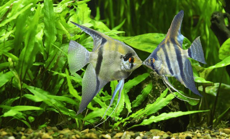 types of angelfish
