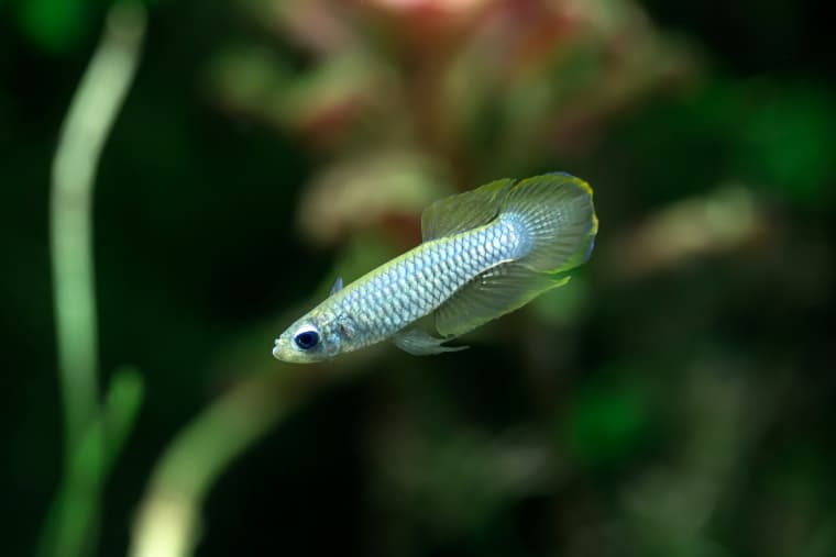 Norman Lampeye Killifish