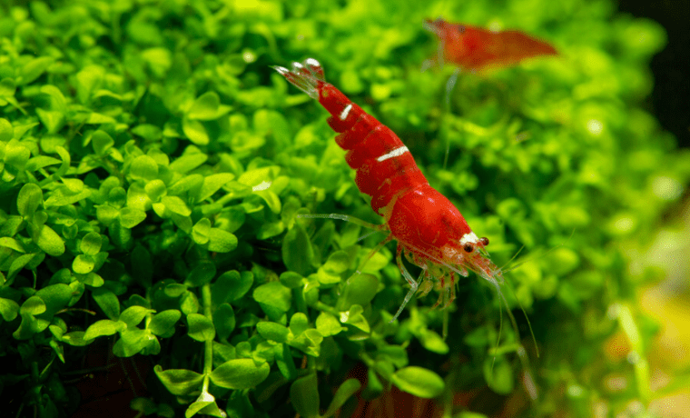 best plants for shrimp tank