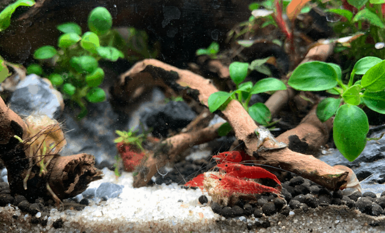 how to set up a shrimp tank