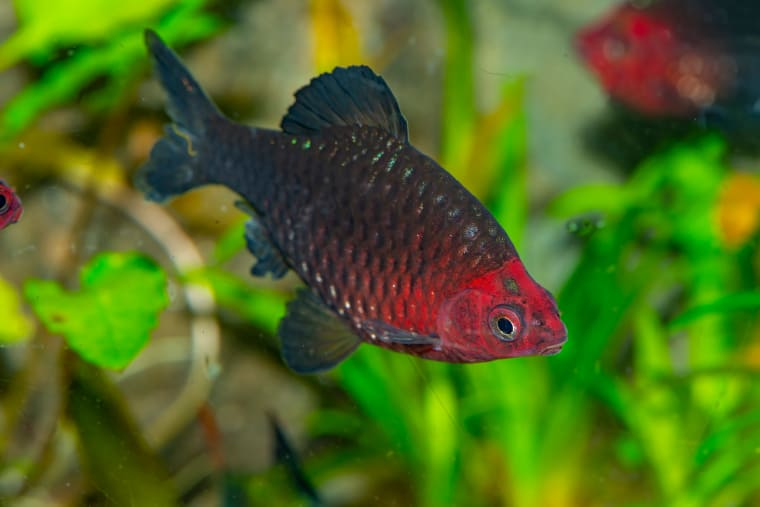 Black Ruby Barbs