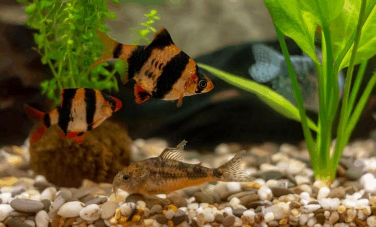 tiger barb tank mates