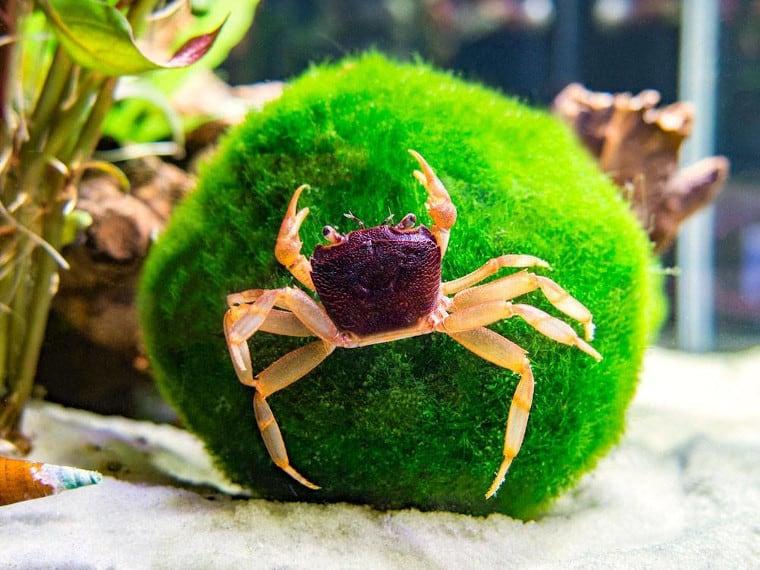 Matano Crab