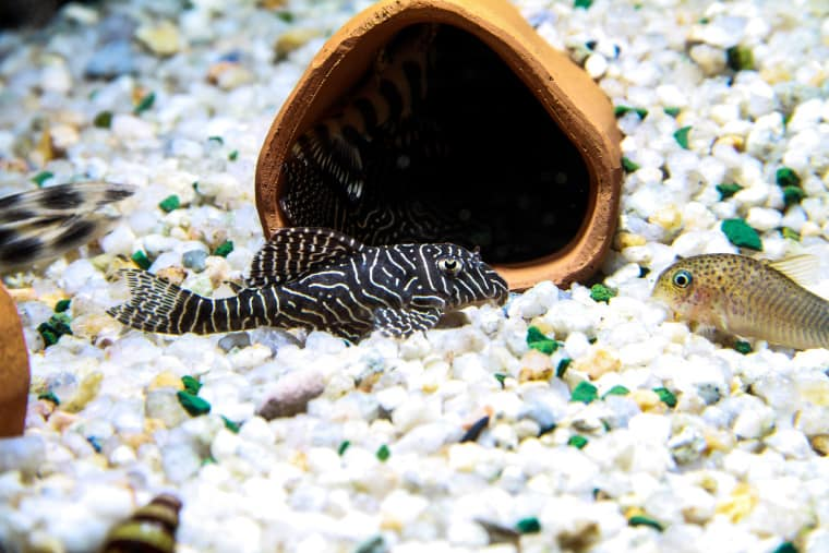 Queen Arabesque Pleco