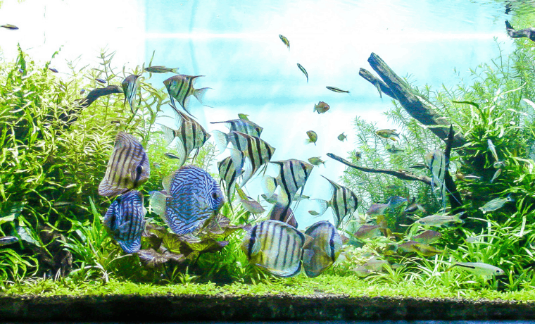 Freshwater Schooling Fish